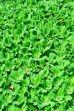 A lente da lentilha-d'água ou da água, está florescendo as plantas aquáticas que flutuam sobre fotos de stock royalty free