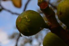 Lente do figo e do gotejamento Foto de Stock Royalty Free