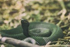 Lente van de slang gaat de giftige die adder in ringen op droog vorig jaar ` s wordt gekruld weg Vipera Berus Royalty-vrije Stock Foto