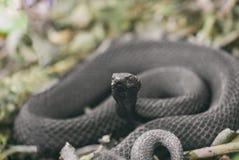Lente van de slang gaat de giftige die adder in ringen op droog vorig jaar ` s wordt gekruld weg Vipera Berus Stock Foto's