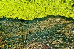 Lenteja de agua común, menor del Lemna Foto de archivo libre de regalías