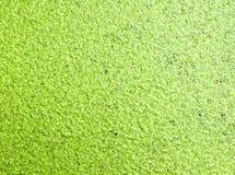 Lenteja de agua, lenteja de agua verde en el agua Foto de archivo libre de regalías