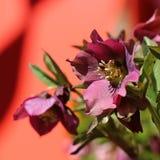 Lenten Роза с красной предпосылкой Стоковые Фотографии RF