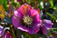 Lenten Rose. Helleborus orientalis flowers in early spring, around the period of Lent, and therefore commonly known as Lenten hellebore or Lenten rose Stock Photos