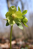 Lenten rose Stock Images
