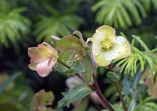 Lenten Rose, Dallas Arboretum and Botanical Garden. Pictured is a closeup view of a Lenten rose, covered with drops of water.  Commonly known as hellebores the Royalty Free Stock Photo