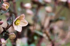 Lenten Rose Flower In Springtime stock foto