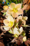 Lenten Rose (Hellebore orientalis) Rises from Ground Clutter Royalty Free Stock Images