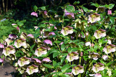 Lenten rose Stock Image