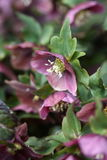 Lenten Rose Stock Photo