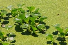 Lenticule couverte sur la surface de l'eau Photo stock