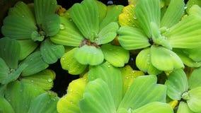lenticule ; Mineur de lemna avec des gouttes de pluie Image stock