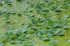 Lenticule verte de marais sur le fond ou la texture de surface de l'eau Photos stock
