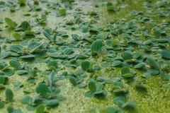 Lenticule verte naturelle de marais sur la surface de l'eau Images libres de droits