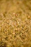 Lentil Crop Saskatchewan. In field pre harvest ripe Stock Photos