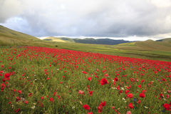 The lentil flowering in Castelluccio di Norcia. Thousands of colors Stock Photography