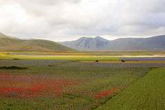 The lentil flowering in Castelluccio di Norcia. Thousands of colors Royalty Free Stock Images