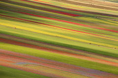 The lentil flowering in Castelluccio di Norcia. Thousands of colors. The colors of the wonderful lentil flowering in Castelluccio di Norcia. A great landscapen Royalty Free Stock Photography