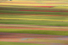 The lentil flowering in Castelluccio di Norcia. Thousands of colors Royalty Free Stock Image