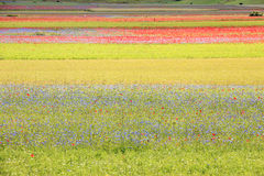The lentil flowering in Castelluccio di Norcia. Thousands of colors Stock Image