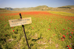 The lentil flowering in Castelluccio di Norcia. Thousands of colors Royalty Free Stock Photos