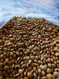 Lentil: fruit in small pod. Annual herbaceous plant of the fabaceae family with branched and striated stems. Its fruit is given in small pod, with two or three royalty free stock images