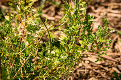 Lentil - lens culinaris - fabaceae. At botanical garden Stock Photo