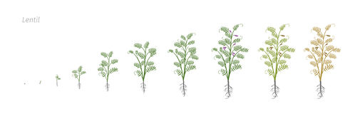 Lentil Soybean Lens culinaris. Growth stages vector illustration Stock Photo