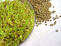 Lentil Sprouts Stock Image