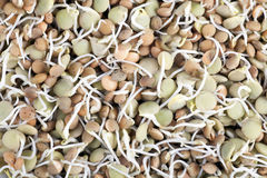 Lentil Sprouts Royalty Free Stock Image