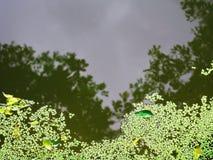 lentilha-d'água Foto de Stock Royalty Free