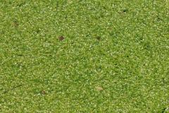 Lentilha-d'água coberta na superfície da água Foto de Stock