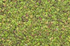 Lentilha-d'água do Lemna na superfície da água fotografia de stock
