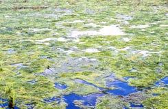 Lentilha-d'água e algas no rio e na lagoa Imagem de Stock