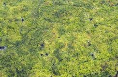Lentilha-d'água e algas no rio, lagoa, lago Imagens de Stock