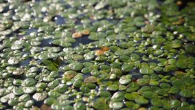 lentilha-d'água Fundo natural da lentilha-d'água verde na água imagem de stock royalty free