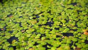 lentilha-d'água Fundo natural da lentilha-d'água verde na água fotos de stock royalty free