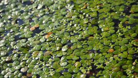 lentilha-d'água Fundo natural da lentilha-d'água verde na água imagem de stock