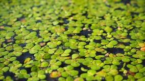 lentilha-d'água Fundo natural da lentilha-d'água verde na água foto de stock royalty free