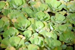 lentilha-d'água Fundo natural da lentilha-d'água verde na água imagens de stock