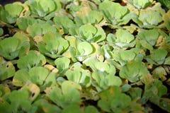 lentilha-d'água Fundo natural da lentilha-d'água verde na água fotografia de stock