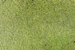 A lentilha-d'água, fundo verde da lentilha-d'água da folha, lentilha-d'água é uma planta de flutuação na superfície imagem de stock royalty free