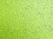 Lentilha-d'água, lentilha-d'água verde na água foto de stock royalty free