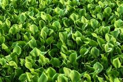 A lentilha-d'água na lagoa é verde e bonita fotos de stock