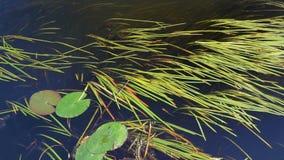 Lentilha-d'água no rio vídeos de arquivo