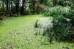 Lentilha-d'água verde na água imagens de stock