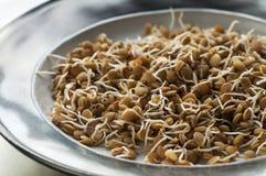 Lentilhas brotadas Fotografia de Stock Royalty Free