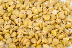 Lentilhas Sprouted Fotos de Stock