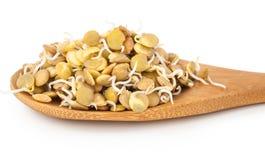 Lentilhas Sprouted Fotografia de Stock