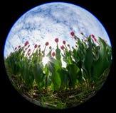 Lentille de Fisheye des tulipes avec le soleil apparaissant photographie stock libre de droits